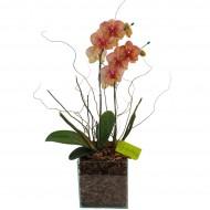 Orquídea Rajada no Vidro