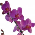 Orquídea Rosa No Cachepot de Madeira