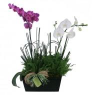 Dueto de Orquídeas