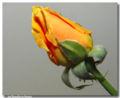 Tipo de flor Botão de Rosa