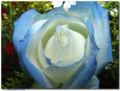 Tipos de flores Rosa azul