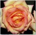 Tipos de flores Rosa mesclada