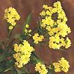 Tipos de flores Solidaster