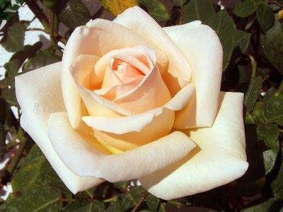 Significado das cores das rosas - rosa champagne ou chá