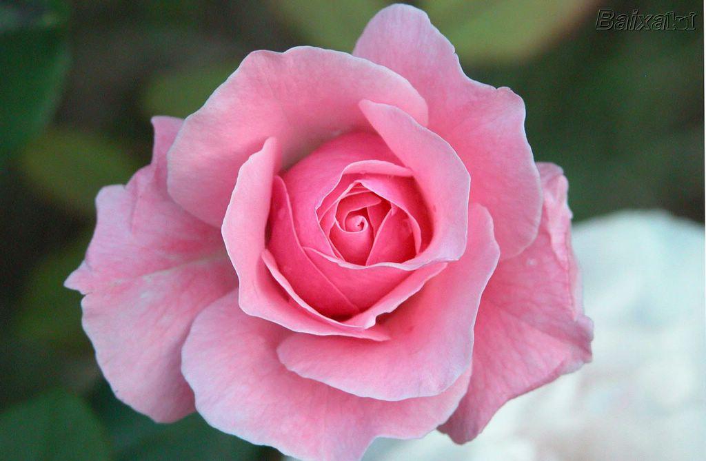 Significado das cores das rosas e buquês - Rosa cor de rosa